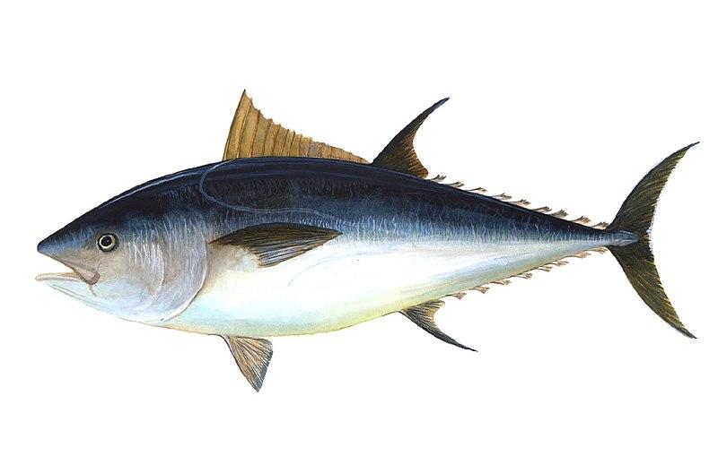 tuna avatar